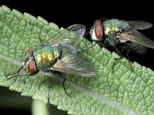 Two green flies