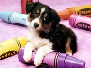 Puppy playing with some crayons