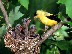 American goldfinches nest