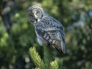 Great Grey Owl or Lapland Owl (Strix nebulosa)