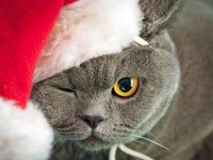 Cat dressed as Santa Claus and winking
