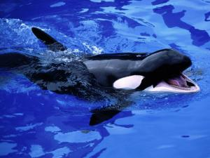 Small killer whale