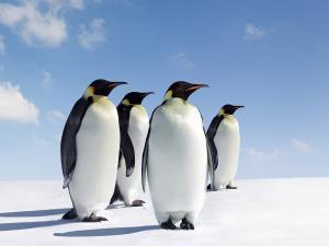 Four emperor penguins