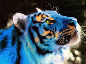 Orange sparkles on the head of a tiger