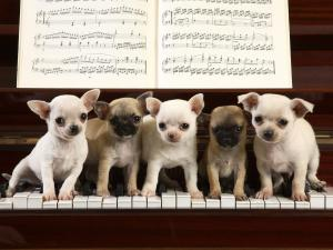 Chihuahuas playing piano