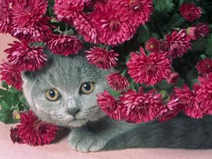 A gray cat hiding behind some chrysanthemums