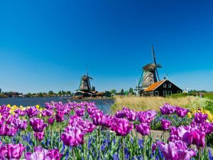 Windmills and wildflowers in Holland