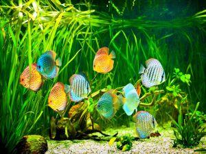 Aquarium with colorful discus fishes