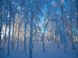 A snowy forest at outside of Kiruna, Sweden
