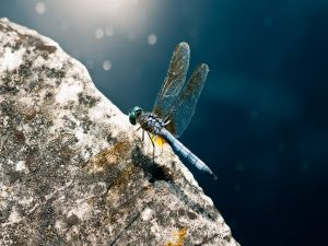 Blue dragonfly over a stone