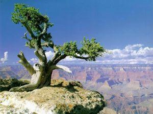 Tree crowning the Grand Canyon (Arizona)