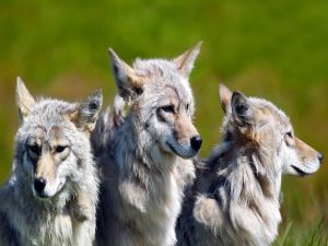 Three gray wolves