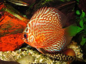 Discus with red mottles