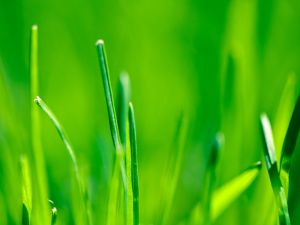 Sprigs of green grass