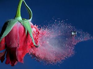 A rose busted by a pellet