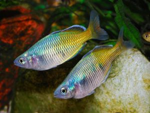 Boeseman's rainbowfishes (Melanotaenia boesemani)