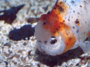 Head of Calico Oranda (Goldfish)