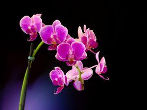 A delicate purple orchid