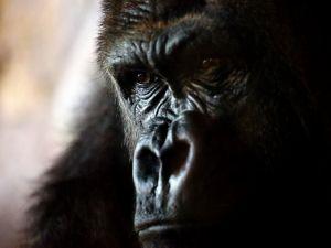 The smart gaze of a gorilla