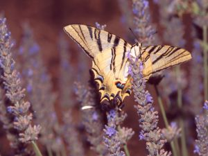 Scarce Swallowtail Butterfly (Iphiclides podalirius) in a lavender flower