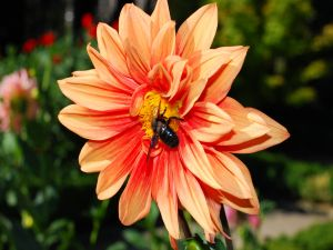 Orange dahlia with an insect