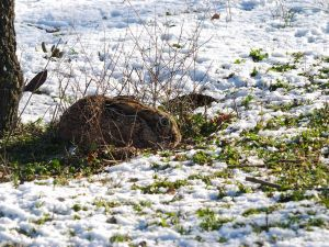 A hare in the snow