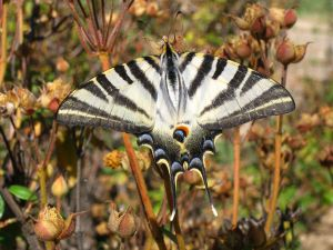 Scarce Swallowtail (Iphiclides podalirius), also called Sail Swallowtail or Pear-tree Swallowtail