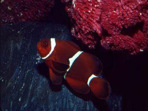 Maroon clownfish (Premnas biaculeatus)