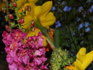Bee in flight between flowers