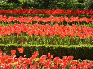 Parterres of tulips