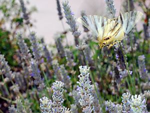 Podalirio Butterfly on a lavender field