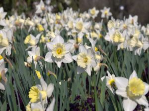 Field of white daffodils