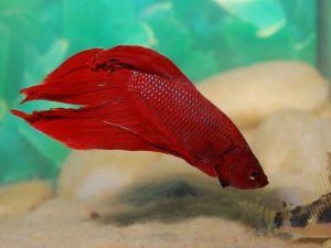 Betta Splendens (Siamese fighting fish) red-colored