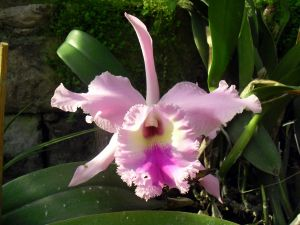 A light pink orchid