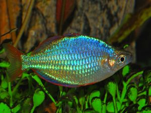 Threadfin rainbowfish (Melanotaenia praecox)