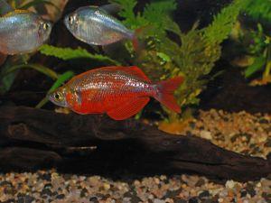 Red threadfin rainbowfish