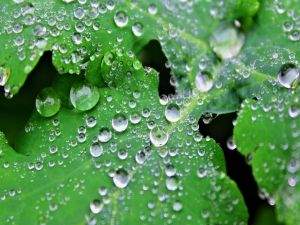 Perfect water drops on a green leaves