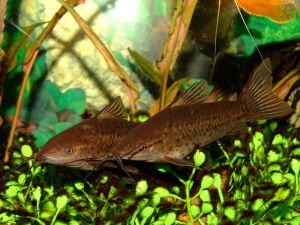 Couple of porthole catfish or slender catfish (Dianema longibarbis)