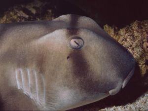 Head of Port Jackson shark (Heterodontus portusjacksoni)