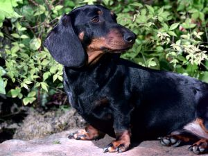 Dachshund (sausage dog) black color
