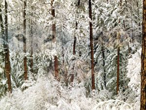 A big snowfall over the trees