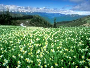 Field of flowers in the Olympic National Park, Washington, United States