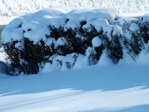 Snow over some bushes