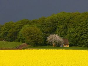 Cottage in a yellow field