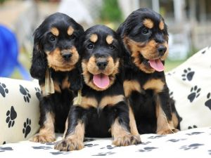 Three puppies of black and brown colors