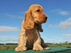 Puppy of English Cocker Spaniel