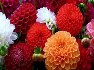 Dahlias red, white and orange colored