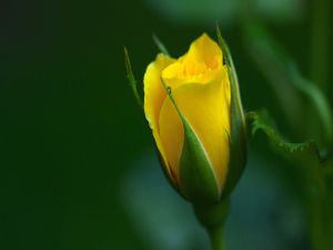 Yellow rosebud
