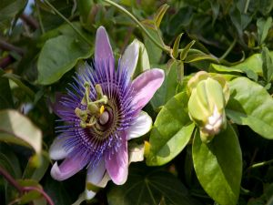 Passion flower (Passiflora)
