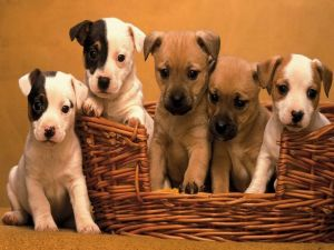 Basket with puppies